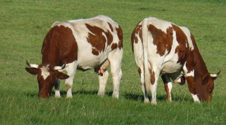 vache fromages d'auvergne